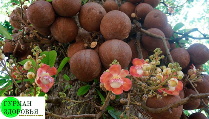 Бразильский орех фото растения