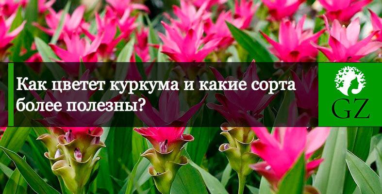 Как цветет куркума фото