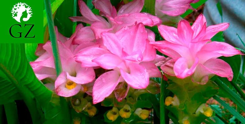 Куркума фото растения цветущего